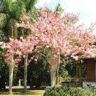 Guarantee CASSIA JAVANICA NODOSA pink & white shower tree beautiful flowers seed 10 seeds