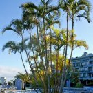 Guarantee ARECA PALM Dypsis Lutescens golden cane palms ornamental fence seed 30 seeds