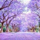 Guarantee Royal Empress Tree Paulownia Elongata flowering tree wood bonsai seed 10 seeds