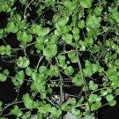 Guarantee Testudinaria Elephantipes dioscorea plant elephant foot yam Caudiciform 5 seeds