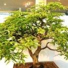 Guarantee BONSAI Tamarindus Indica tamarind tree tropical edible fruit wood seed 15 SEEDS