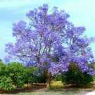 Guarantee Paulownia Tomentosa japan Princess Tree leaf flowering wood bonsai seed 10 seeds