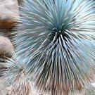 Guarantee BEAKED YUCCA yuca rostrata Big Bend agave garden aloe treelike seed  15 SEEDS
