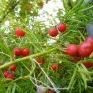 Guarantee ASPARAGUS SPRENGERI shrub fragrant flowering FERN bush bird atract seed 20 seeds