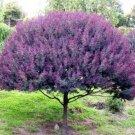 Guarantee Cootamundra tree Acacia Baileyana Purpurea rare flowering wattle purple 10 seeds