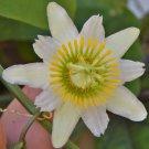 Guarantee Passiflora biflora maracuja passion flower white maypop fragrant seed 5 SEEDS