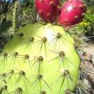 Guarantee Opuntia Oricola rare chaparral pricklypear cactus exotic nopal seed 20 SEEDS