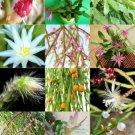 Guarantee RHIPSALIS MIX rare night blooming plant exotic cactus flower succulents 20 seeds