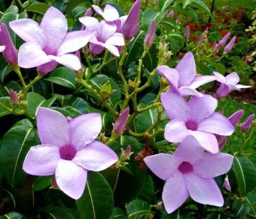 Guarantee Cryptostegia grandiflora rare rubber vine purple allamanda flower seed 30 seeds