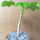"Guarantee JATROPHA EXCISA j rare exotic succulent cacti carnivorous plant collectors 4"""