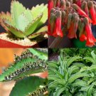 Guarantee KALANCHOE DAIGREMONTIANA rare mother of thousand mexican hat plant seed 50 seeds