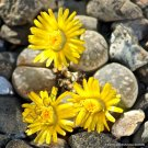 Guarantee RARE LITHOPS HERMETICA  mesembs exotic succulent living stones cactus 100 SEEDS
