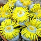 Guarantee LITHOPS GEYERI rare living stones exotic mesembs rocks succulent seed 100 SEEDS