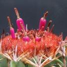 Guarantee RARE MELOCACTUS CONOIDEUS exotic flowering cactus cacti succulent seed 100 seeds
