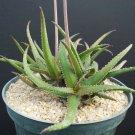 Guarantee RARE ALOE BAKERI exotic color succulent garden desert flowering seed 50 SEEDS