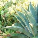 Guarantee RARE AGAVE SALMIANA j green giant succulent pulque garden aloe seed 50 SEEDS