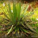 Guarantee RARE AGAVE FILIFERA SCHIDIGERA threadleaf succulent aloe plant seed 50 SEEDS