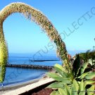 Guarantee RARE AGAVE ATTENUATA spineless agaves succulent plant seed aloe gardens 50 SEEDS