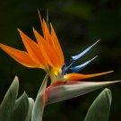 Guarantee CRANE FLOWER PLANT Strelitzia Reginae flowering Bird of Paradise seed 30 seeds