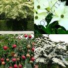 Guarantee RARE CORNUS KOUSA j chinese dogwood tree white flowers red fruit seed 50 SEEDS