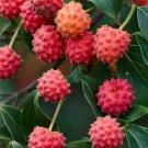 Guarantee CORNUS KOUSA chinese dogwood tree white flowers red fruit plant seed 50 SEEDS