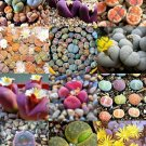 Guarantee COLOR LITHOPS MIX succulent EXOTIC living stones desert rock seed plant 50 SEEDS