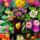 Guarantee COLOR LANTANA MIX flowering Shrub Verbenas Butterfly Ham And Eggs seed 50 seeds