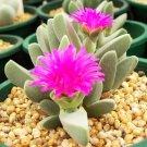 Guarantee Cheiridopsis Purpurea rare mesembs living stones exotic cactus seed 50 SEEDS