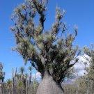 Guarantee Beaucarnea Gracilis RARE NOLINA elephant foot mexican ponytail palm 50 SEEDS