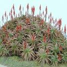 Guarantee Aloe Arborescens kranz vera healing medicinal succulent rare plant seed 50 SEEDS