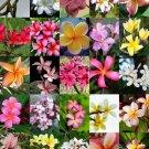 Guarantee PLUMERIA MIX Frangipani exotic fragrant flowers islands succulent seed 10 seeds