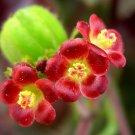 Guarantee Bellyache Bush JATROPHA GOSSYPIFOLIA rare carnivorous succulents seed 50 SEEDS