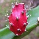Guarantee Barbed Wire Cactus rare Acanthocereus tetragonus cereus succulent seed 25 seeds