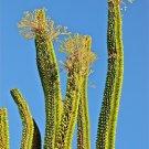 Guarantee Alluaudia procera Madagascar Ocotillo Fouquieria splenden exotic seed 10 SEEDS