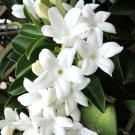 Guarantee Stephanotis floribunda Madagascar jasmine vine rare exotic flower seed 10 SEEDS