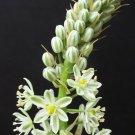 Guarantee Ornithogalum caudatum exotic rare bulb false sea Pregnant Onion seed 50 seeds