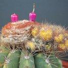 Guarantee Melocactus Oreas VARIEGATED J montrose cacti rare exotic cactus seed 50 SEEDS