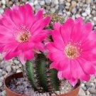 Guarantee Lobivia winteriana echinopsis exotic flowering cactus cacti rare seed 50 SEEDS