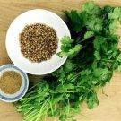 Guarantee CILANTRO HERBCORIANDER (Coriandrum sativum) recao latin cuisine spice 200 seeds