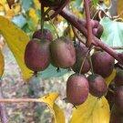 Guarantee 100 Red/Purple Kiwi Seeds Rare Fruit ctinidia melanandra