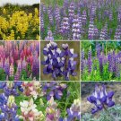 Guarantee 250 Loopy Lupine flower seed mix 7 types   Rsell sky yellow
