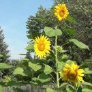 Guarantee 300 Mammoth grey stripe Sunflower Seeds harvested in