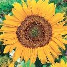 Guarantee 300 Dwarf Sunspot Sunflower Seeds harvested in