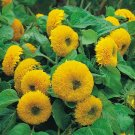 Guarantee 300 Teddy Bear SUNFLOWER SEEDS HELIANTH ANNU FLOWER ANNUAL