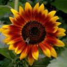 Guarantee 300 AUTUMN BEAUTY SUNFLOWER SEEDS HELIANTH ANNU FLOWER GIANT ANNUAL TALL