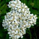 Guarantee White Yarrow 10000 seeds   Achillea Millefolium