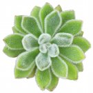 Guarantee Echeveria Doris Taylor Woolly Rose Indoor Plant (4 inch pot)