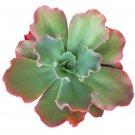 Guarantee Echeveria Ruffle Succulents Crinoline Neon Purple (4 inch pot)