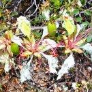 Guarantee DELONIX PUMILA Flamboyant poinciana tree VERY RARE bonsai plant seed  10 SEEDS
