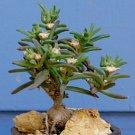 Guarantee Delosperma Napiforme mestoklema macrorrhizum bonsai mesemb plant seed 100 SEEDS